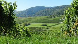 Weißweine aus der Pfalz